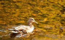 自然鸭子在池塘 免版税图库摄影