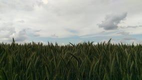 自然麦子 免版税库存照片