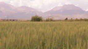 自然麦田,土耳其6月2016年, 股票视频