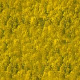 自然黄色背景纹理 春天油菜籽领域 免版税库存照片