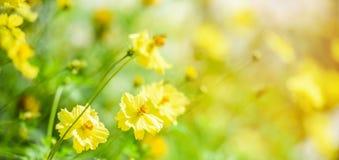 自然黄色花田迷离背景黄色植物金盏草秋天颜色美好在庭院里 免版税库存照片