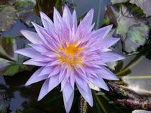 自然黑暗的斯里兰卡的混合紫色颜色荷花花 库存照片