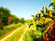 自然,分支用红色果子 库存图片