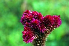 自然,饰以羽毛的Cockscomb花,自然秀丽 库存图片