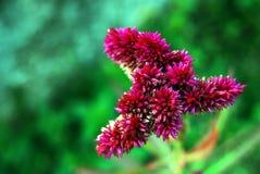 自然,饰以羽毛的Cockscomb花,自然秀丽 免版税库存图片