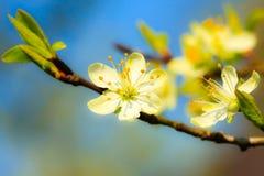 自然 在苹果树分支的白色开花  免版税库存照片