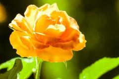 自然 背景的桔子玫瑰色花 免版税库存照片