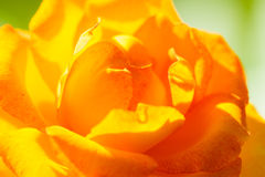 自然 背景的桔子玫瑰色花 库存图片