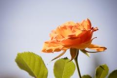 自然 背景的桔子玫瑰色花 图库摄影