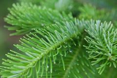 自然绿色云杉的分支 杉树软和模糊的背景 白天 宏观看法 库存图片