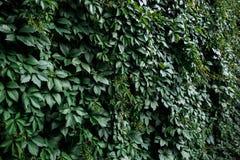 自然绿色叶子墙壁, eco友好的背景 免版税库存图片