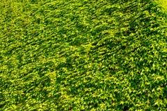 自然绿色叶子纹理 免版税库存图片