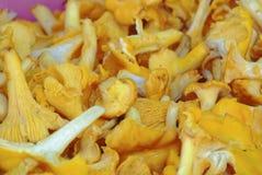 自然黄色蘑菇 免版税库存照片