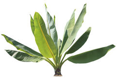 自然绿色香蕉在公园和雀鳝把装饰的植物留在 免版税库存图片
