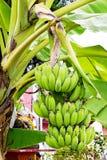 自然绿色香蕉 库存照片