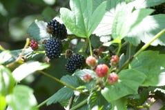 自然黑莓果 免版税图库摄影