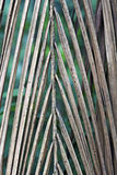 自然结辨的干棕榈叶 免版税库存照片