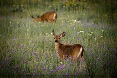 自然Bambi,鹿 免版税库存照片