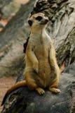 自然meerkat  图库摄影