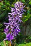 自然Petrea volubilis,女王/王后紫罗兰  库存照片