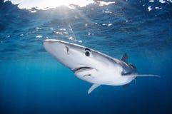 自由地游泳在被日光照射了加利福尼亚中清楚的水域的蓝鲨鱼  免版税库存照片