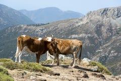 自由地漫游在山草甸的两头母牛 免版税库存照片