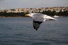 自由地飞行在天空的海鸥 库存图片