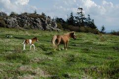 自由排列的小马。 库存照片