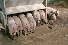 自由排列的猪 库存照片