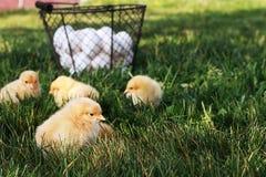 自由放养的小鸡 免版税库存图片