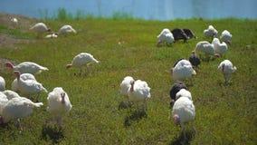 自由放养的幼小小小火鸡在农场在村庄 火鸡 禽畜庭院,种田,农业禽畜生产 影视素材