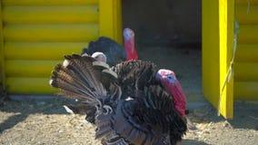 自由放养的火鸡在农场在村庄 雄火鸡,火鸡 禽畜庭院,种田,农业禽畜生产 股票视频