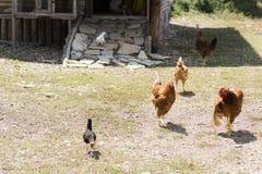自由放养的雄鸡和母鸡 免版税库存照片
