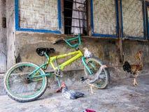自由放养的雄鸡和鸡坐一辆自行车在农村亚洲,弗洛勒斯,印度尼西亚 免版税库存图片