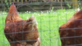 自由放养的鸡在后院 股票视频