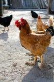 自由放养的鸡 免版税图库摄影