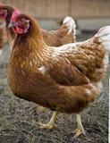 自由放养的鸡 库存图片