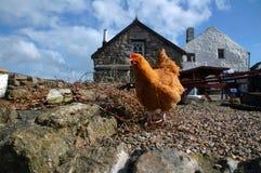 自由放养的鸡 免版税库存图片