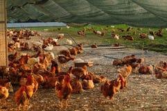 自由放养的农场 免版税库存照片
