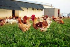 自由放养的农场 免版税库存图片