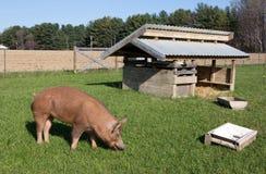 自由放养的塔姆沃思养猪场 库存图片