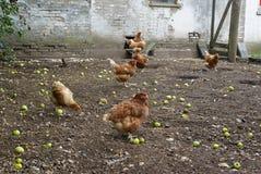 自由放养的有机鸡 免版税库存照片