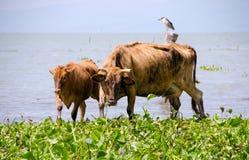 自由放养的母牛和小牛 免版税库存图片