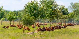 自由放养的母鸡农场 图库摄影