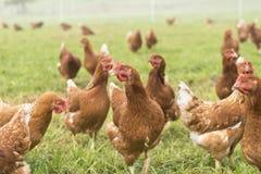自由放养的母鸡 免版税图库摄影
