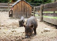自由放养的猪动物 免版税库存图片