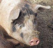 自由放养的猪画象 免版税库存图片