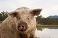 自由放养的猪 免版税库存照片