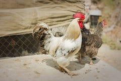 自由放养的雄鸡和母鸡 库存图片