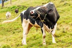 自由放养的霍尔斯坦公牛 库存照片